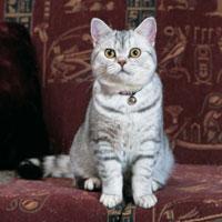 British cat nz